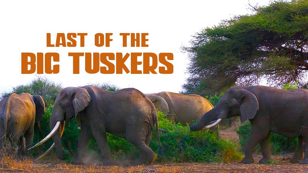 Last of the Big Tuskers